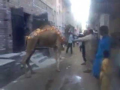 Dangerous Camel Run