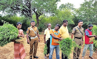 Raid on ganja plantation in mahagalwewa