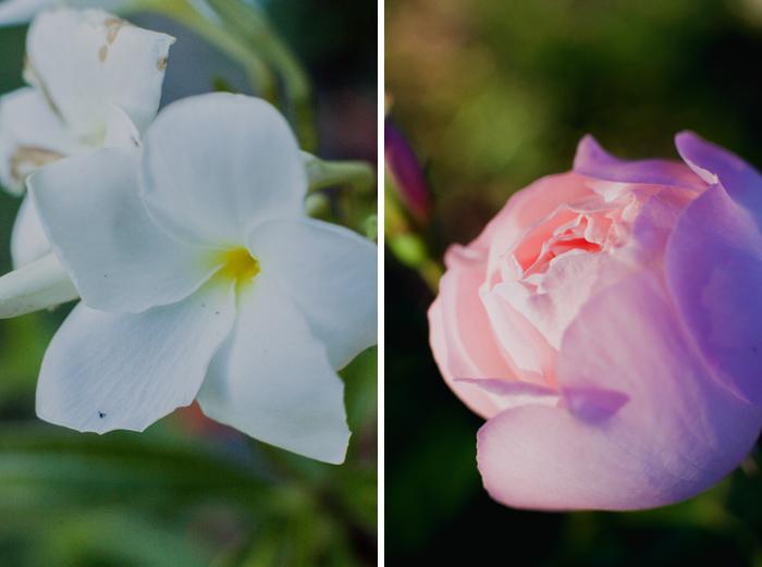 white frangipani and pink rose
