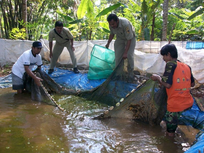 Bdidaya Ikan Lele di Pekarngan