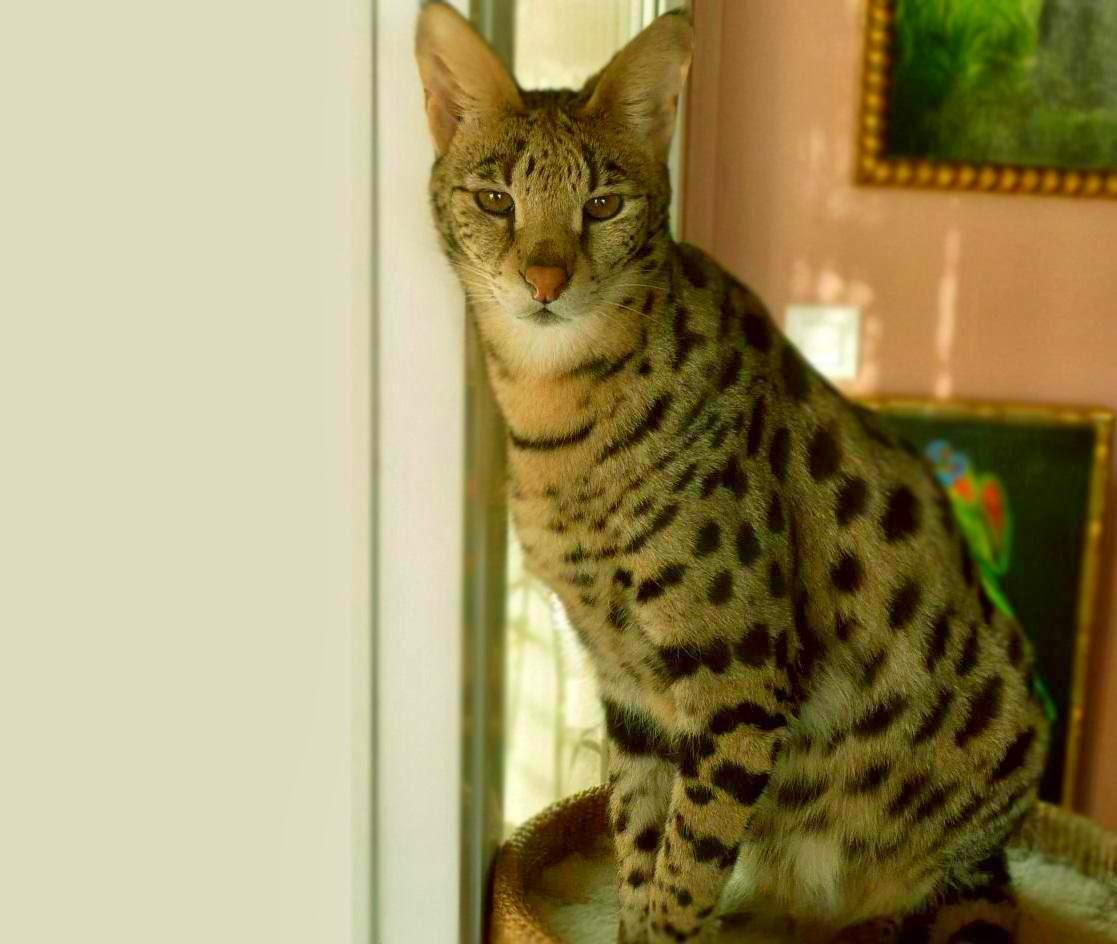 Shy Cat Breeds