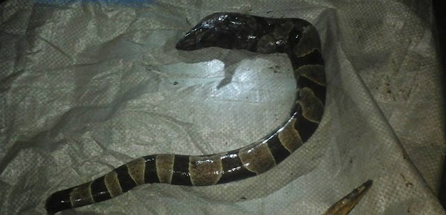 Woman Gives Birth to a Snake in Cotabato