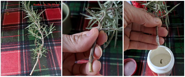 roooting rosemary cuttings