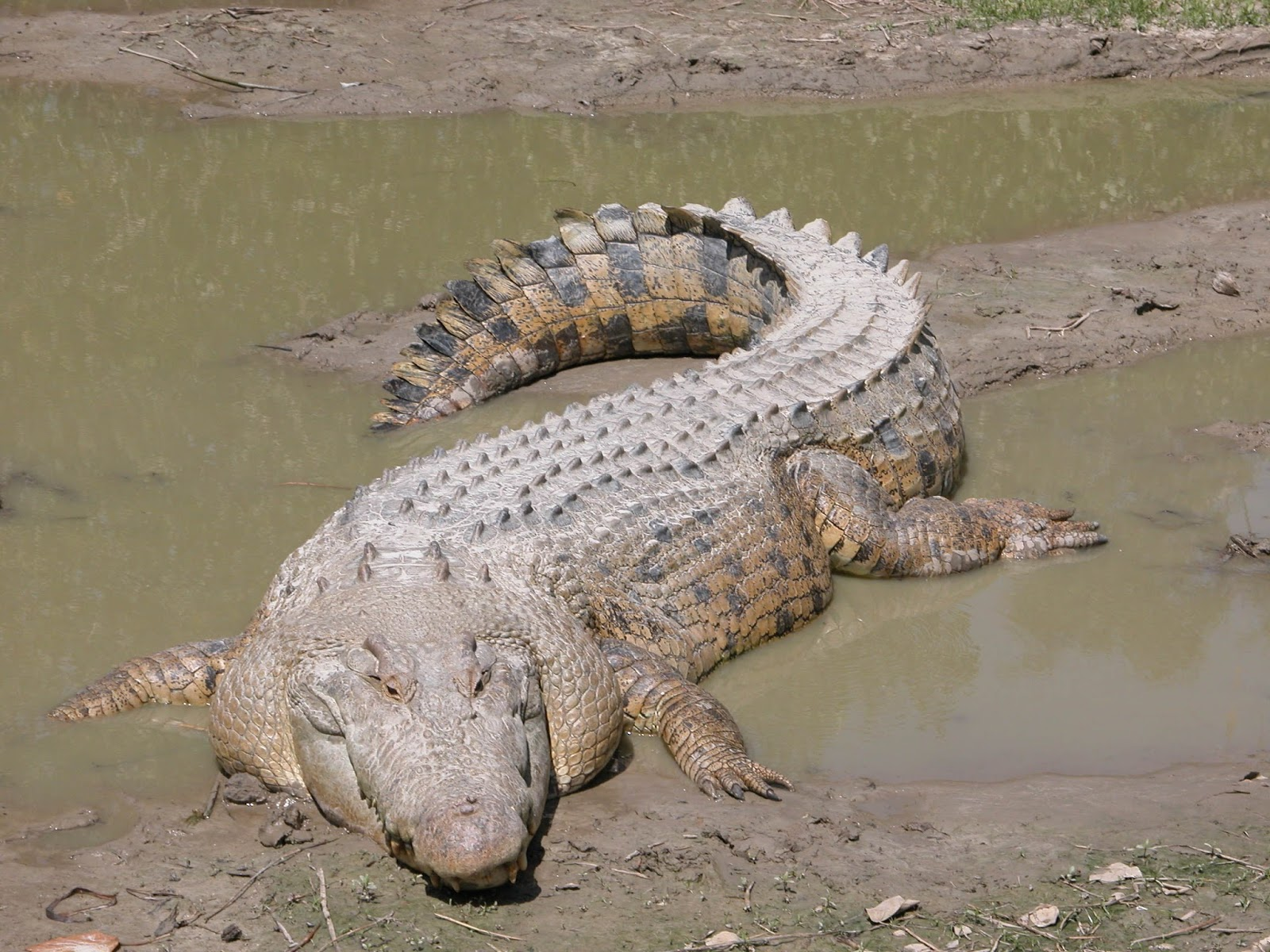 An image of a saltwater crocodile.
