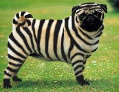 Un pug estilo zebra