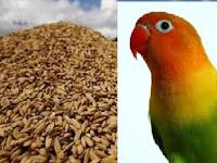 Manfaat Gabah Bangkok Untuk Burung Lovebird; Menstabilkan Birahi Lovebird