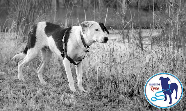 Beautiful lab-beagle mix in a field