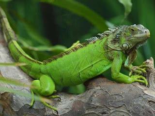 perbedaan-iguana-dan-bunglon.jpg