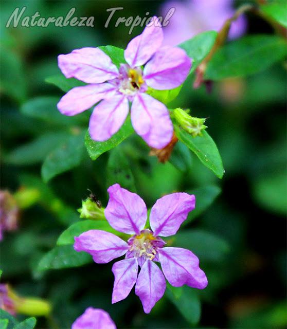 Otra foto de las flores de la Cufea o Trueno de Venus, Cuphea hyssopifolia