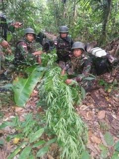 Menembus Hutan Belantara, Satgas Pamtas Ri-Png 410/Alugoro Temukan Ladang Ganja