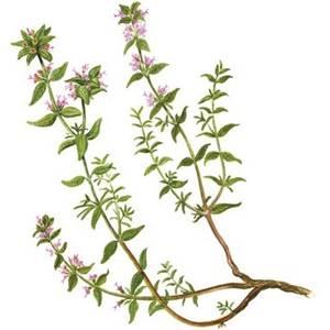Tomilho,  nome científico:Thymus vulgaris