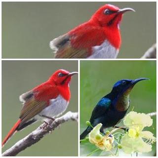 kolibri jantan dan betina