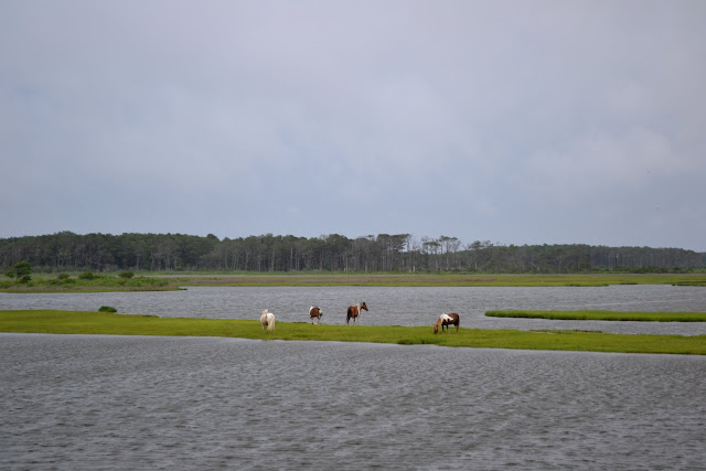 """Дикі"" коні. Острів Ассатіг, Меріленд (""Wild"" horses. Assateague Island National Seashore, MD)"