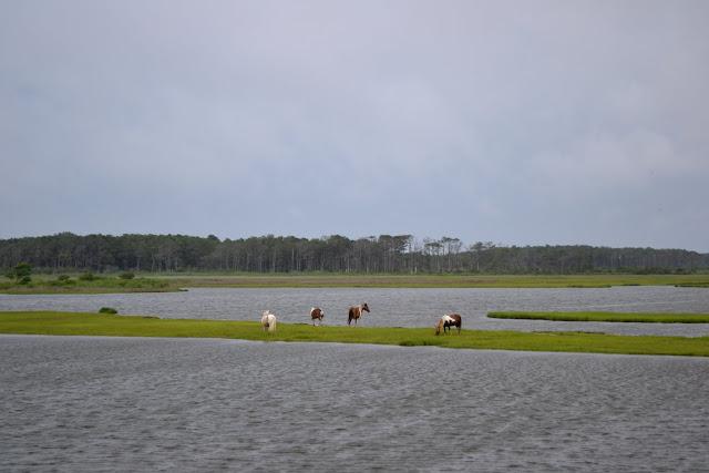 """Дикі"" коні. Острів Ассатіг, Меріленд (""Wild"" horses. Assateague Island National Seashore, MD)"