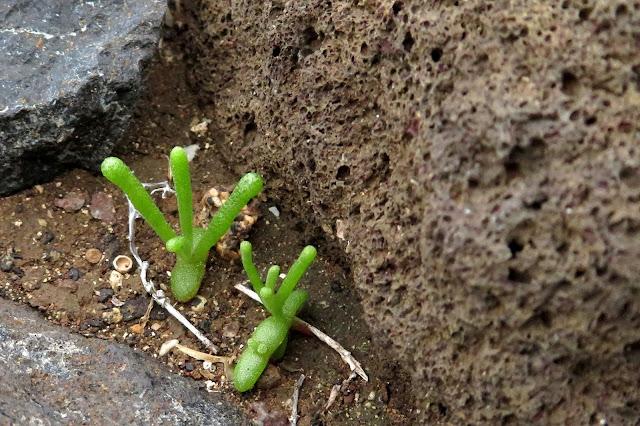 Mesembryanthemum nodiflorum - Cosco 02