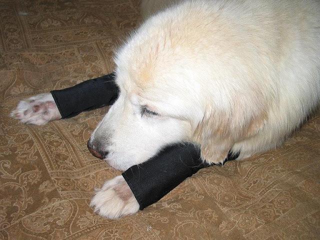 Chó tự cắn chân mình