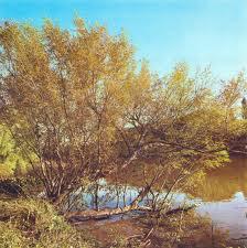 Palo amarillo Terminalia australis