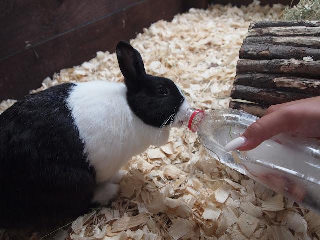 Godstone Farm, Surrey Review - rabbit drinking ice water