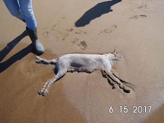 Βρέθηκε δηλητηριασμένη η σκυλίτσα που εγκαταλείφθηκε στην παραλία Κακόβατου της Ζαχάρως