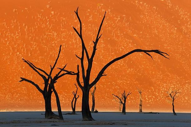 Camel Thorn Trees, Namibi