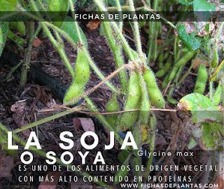 Soja, Leguminosas en los Bosques Comestibles