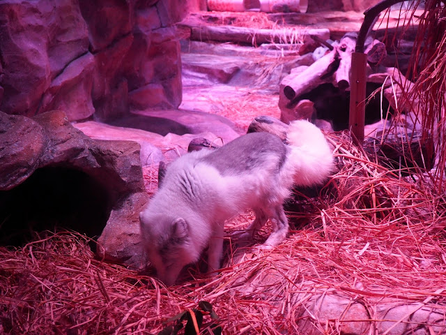 Arctic fox in Polar Adventure, Ocean Park