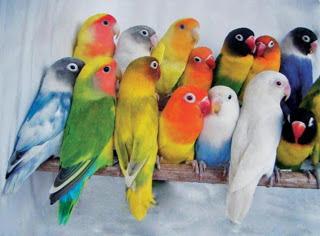 spesies lovebird, warna lovebird, lovebird warna