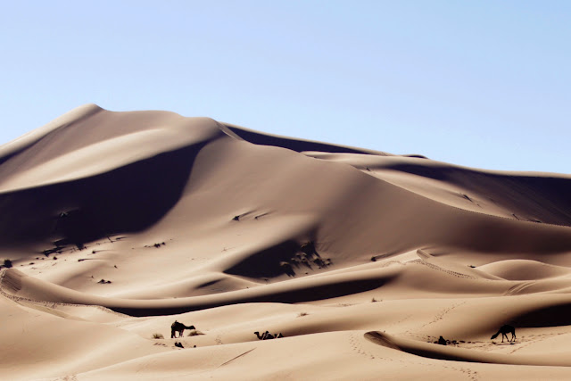 Camellos en las dunas del desierto de Marruecos