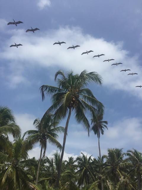 Pelicans; Tayrona, Colombia