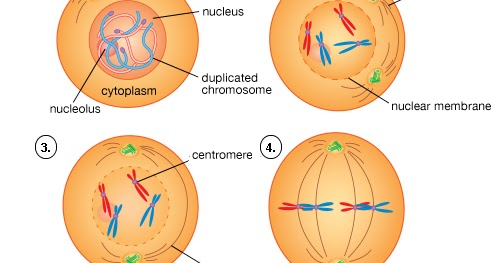Plant Life Mitosis And Meiosis