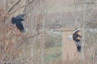 Cornella (Corvus corone) perseguint una arpella (Circus aeruginosus)