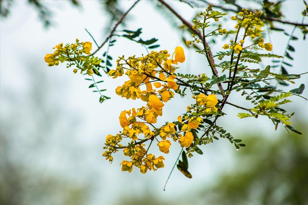 """Cơn sốt mang tên """"hoa muồng vàng"""""""