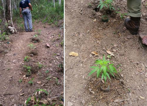 Barra da Estiva: Polícia descobre plantação de Maconha na Zona Rural