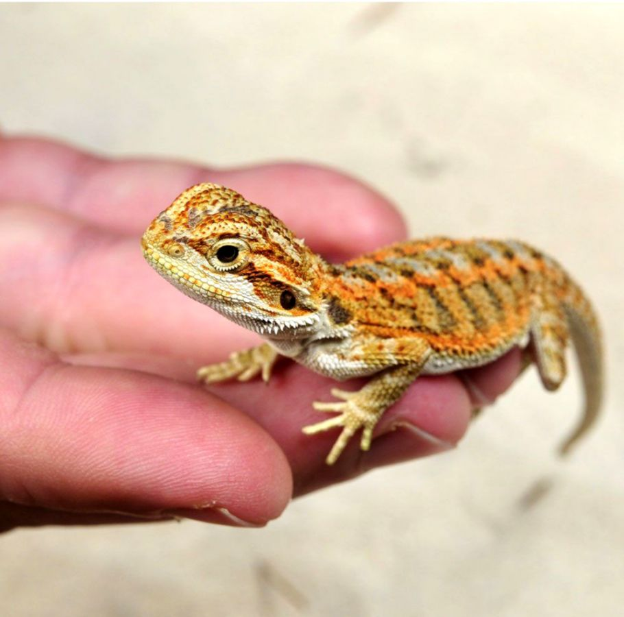 Image result for baby bearded dragon