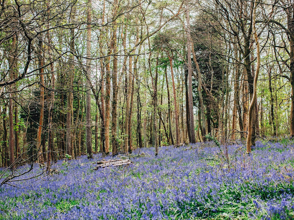 the agonizing life of a bluebell enthusiast