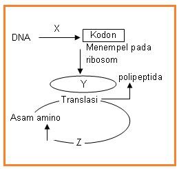 Biologi gonzaga prediksi un biologi tepat berdasarkan skema sintesis protein tersebut yang ditunjuk oleh x y dan z secara urut adalah a transkripsi rnad rnat b transkripsi ribosom rnat ccuart Image collections
