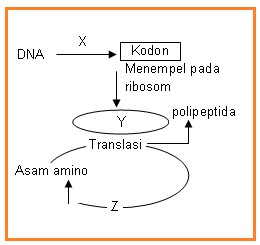 Biologi gonzaga berdasarkan skema sintesis protein tersebut yang ditunjuk oleh x y dan z secara urut adalah a transkripsi rnad rnat b transkripsi ribosom rnat ccuart Images