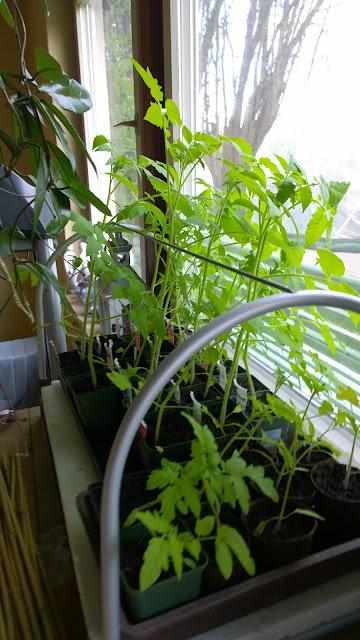 Tomatenjungpflanzen (c) by Joachim Wenk