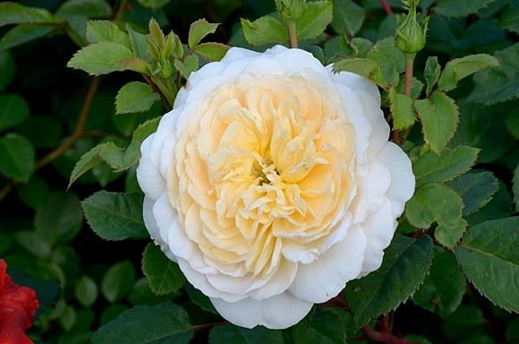 Crocus Rose роза сорт фото купить саженцы в Минске