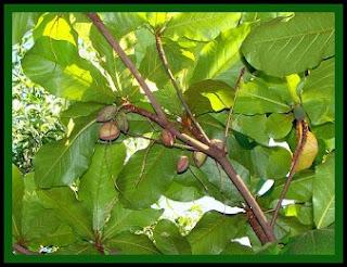 kaju,nature,tree