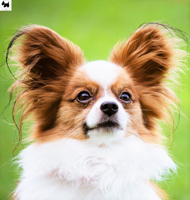Cutest Dog Breeds, Best Dog, Papillon Dog