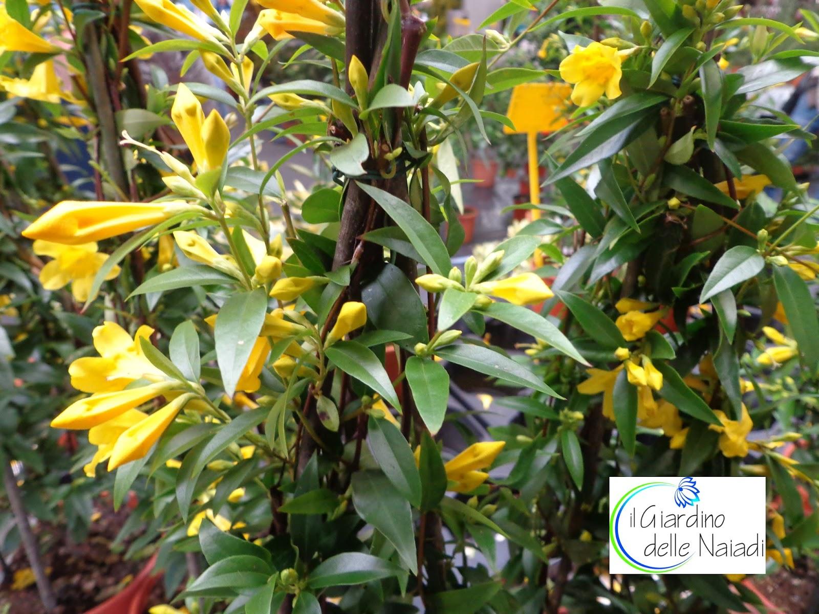 Arbusto Boschivo Dai Fiori Gialli.Il Giardino Delle Naiadi Febbraio 2017