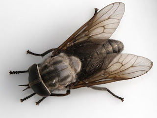 Horsefly survival defies evolution
