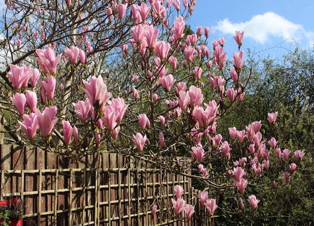 My neighbour's magnolia tree, which she also shares with our garden