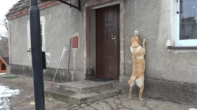 El perro que toca el timbre para que le abran la puerta | Vídeo