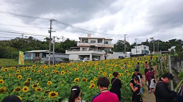 北中城村荻道のひまわりの写真
