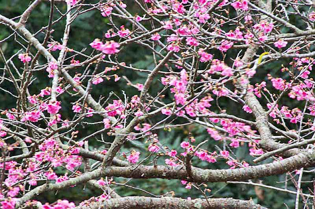 horizontal composition, branches, flowers, cherry tree
