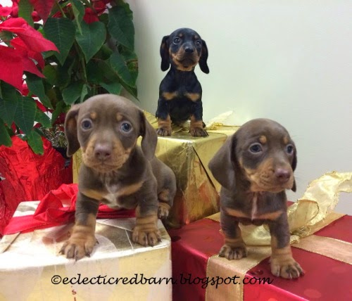 Eclectic Red Barn: Three puppies being fostered