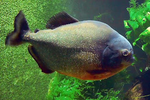 Piranha HD Wallpapers Download free images and photos [musssic.tk]