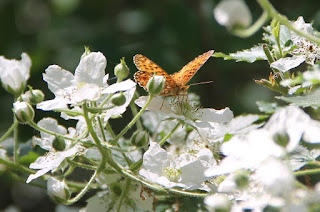 Butterfly on blackberry flower, Boloria selene